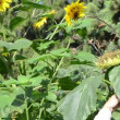 Man cut natural ripe sunflower knife rural garden — Stock Video
