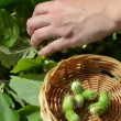 Hand gather ripe hazel nutwood nuts to wicker wooden dish — Stok Video #23425274