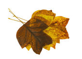 Brightly tulip tree leaves lay on top each other — Stock Photo