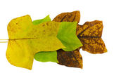 Tulip tree leave in autumn composition — Stock Photo