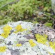 Fire belly fire-bellied toad bombina red belly walk stone moss — Stock Video