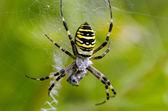 Wasp spider spiderweb catch prey — Stock Photo