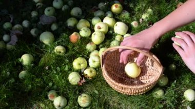 Woman hand gather fall ripe fruits apple tree wicker basket — Stock Video