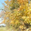 Autumn color maple tree branch leaves move wind blue sky — Stock Video #24014145