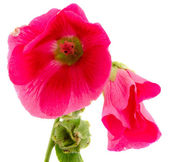 Mallow flower red plant bloom isolated on white — Stock Photo