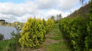 Thuja bush vicolo viale lago acqua percorso — Video Stock