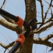 Fruit tree cut trim prune two handle clipper spring garden — Stockvideo