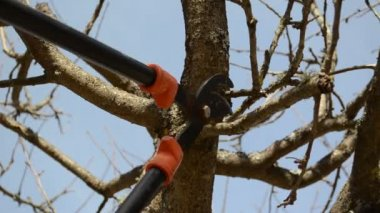 Fruit tree cut trim prune two handle clipper spring garden — Stock Video