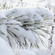 Powdery snow covered pine branch small needle tips — Foto Stock