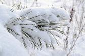 Nieve polvo cubierto consejos de aguja pequeña de rama de pino — Foto de Stock