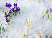 Various saffron crocus flower blooms snow spring — Stock Photo