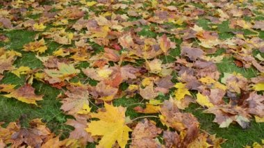 Colorful autumn season maple tree leaves fall green lawn grass — Stock Video