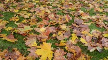 炫彩金秋时节枫叶树叶秋天绿色草坪草 — 图库视频影像