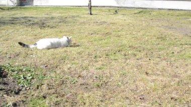 Cat pose a hunter — Stock Video