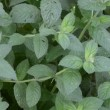 Stock Video: Mint plant herb leaf