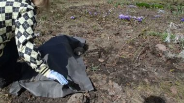 Gardener managed garden after winter uncovers rose flowers — Stock Video