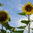 Stock Video: Decorative sunflower sky