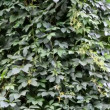 Creeper bindweed tree — Stock Video