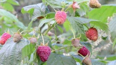 Twig raspberry move wind — ストックビデオ