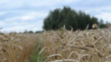 Walk ripe wheat field — Stock Video