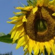 Sunflower head blue sky — Stock Video