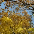 Autumn tree leaves sky — Stock Video