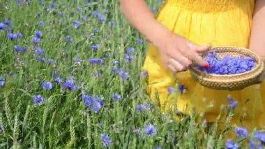 Hand pick cornflower herb — Stock Video