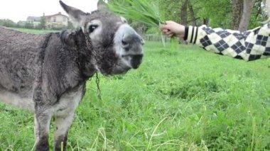 Woman donkey feed grass — Stockvideo