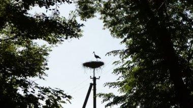 Stork bird silhouette — Stock Video