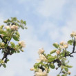 Stock Video: Apple tree twig bloom