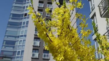 Forsythia bush flower — Stock Video