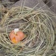 Straw nest hen egg break — Stock Video