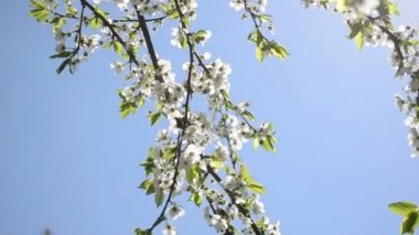 Chafer fly bloom tree — Stockvideo