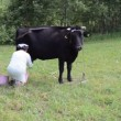 Stock Video: Milkmaid cow meadow