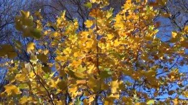 Autumn tree leaves pile — Stock Video