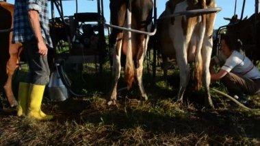 Ryots cow prepare milking — Stock Video