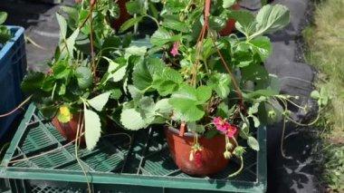 Strawberry bloom pot — Stock Video