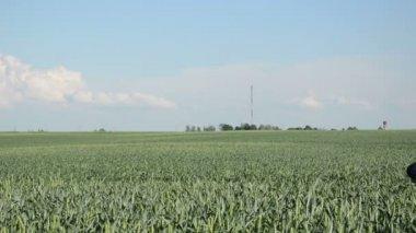 Dívka letní kukuřičné pole — Stock video