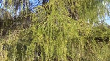 Tree larch branch sky — Stock Video