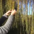 Girl larch plait branch — Stock Video #37550559