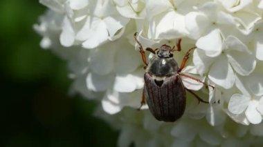 Beetle jerks head still — Stock Video