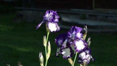 Dewy iris flower — Stock Video