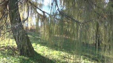 Rama de alerce tronco verde — Vídeo de Stock