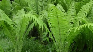 Rain water fern plant — Stock Video