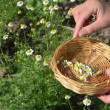Stock Video: Herbalist hand camomile