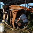 Stock Video: Wommilking machine cow
