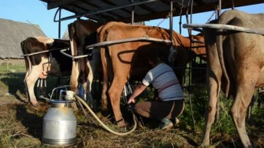 Woman milking machine cow — Stock Video