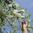 Woman bloom apple tree — Stock Video