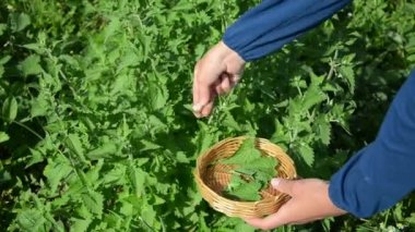 Herbalist lemon-balm leaf — Vídeo Stock