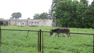 Donkey graze woman rain — Stock Video